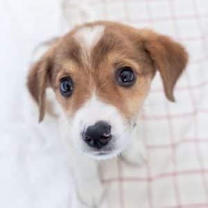 Hundewelpe aus Rumänien