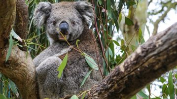 Koala im Busch