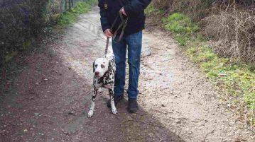 Dalmatinerhund beim Spaziergang auf Feldweg