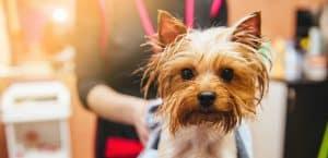 Yorkshore Terrier wird im Hundesalon abgetrocknet