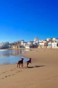 Zwei Ridgebacks laufen an einem Strand auf eine Siedlung mit Häusern zu
