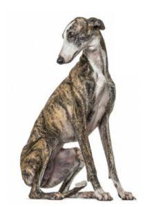 sitzender Windhund