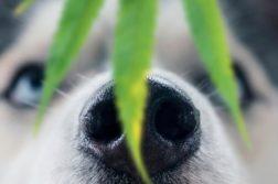 Nase eines Husky mit einem Hanfblatt