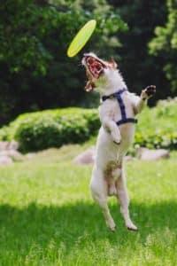 Terrier fängt ein Frisbee und steht senkrecht in der Luft