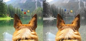 Ein Schäferhundkopf von hinten. Der Hund schaut auf einen Bergsee. Links das Bild in Farbe, wie es Menschen sehen, rechts so, wie der Hund es sieht.