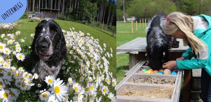Cocker Spaniel im Naturhundegarten