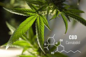 Cannabidiol Hanfpflanze