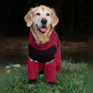 Golden Retriever trägt Hundebademantel