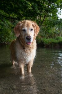 Golden Retriever steht im Wasser