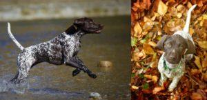 eine rennende Deutsch Kurzhaar Hündin im flachen Wasser, rechts ein Welpe im Herbstlaub, der nach oben in die Kamera schaut