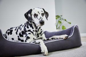 Dalmatiner liegt in Hundebett