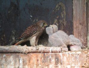 Ein Greifvogel füttert seine Jungen