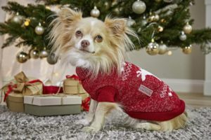 Chihuahua in rotem Strickpullover