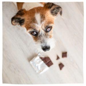 Hund schaut nach oben in die Kamera, am Boden liegt Schokolade