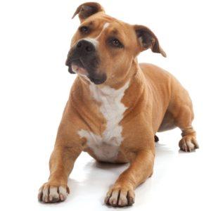 Liegender, aufmerksamer Staffordshire Terrier