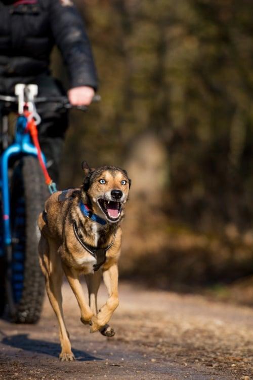 Hund beim Bikejöring
