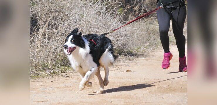 Ein Hund mit Zuggeschirr rennt auf einem Weg. Eine Läuferin hinter ihm ist über eine gespannte Leine mit ihm verbunden.