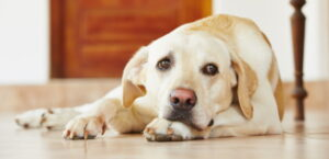 Beiger Labrador liegt auf dem Boden und sieht traurig aus.