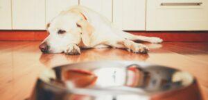 Labrador liegt hinter Futterschüssel in Küche und schaut zur Seite.