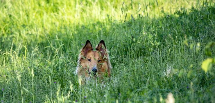 Collie liegt im Schatten eines Baumes.