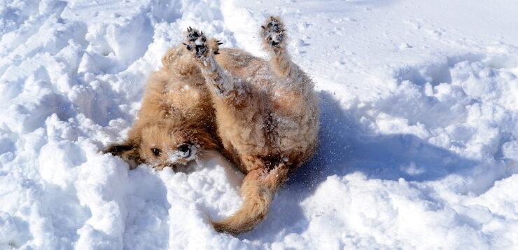 Ein rauhaariger Hund wälzt sich im Schnee. Er liegt auf dem Rücken und streckt die Hinterbeine in die Luft.
