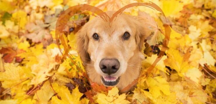 Ein Golden Retriever sitzt in gelbem Ahornlaub und schaut nach oben in die Kamera.
