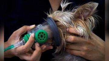 Yorksihre Terrier bekommt eine Narkose