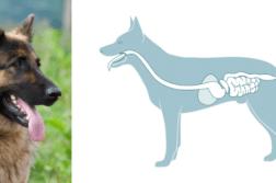 Links ein Foto eines Deutschen Schäferhundes. rechts eine Zeichnung, die den Verdauungstrakt des Hundes zeigt.