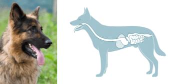 Verdauung: Hunde-Ernährungsphysiologie