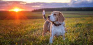Beagle steht auf Wiese bei Sonnenuntergang