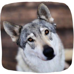Wolfshuendin