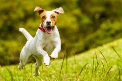 Terrier rennt auf Wiese