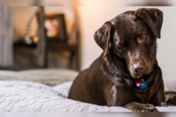 Ein brauner Labrador liegt auf einem Bett.