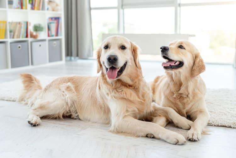 Zwei Golden Retriever liegen auf dem Boden