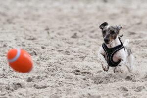 Terrier rennt im Sand einem kleinen Football hinterher.