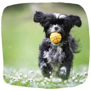 Kleiner schwarz-weißer Mischling rennt mit gelbem Ball in Richtung Kamera.