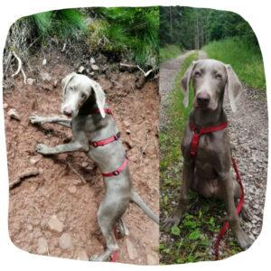 Zweigeteiltes Bild: Links ist Weimaraner-Junghund beim Klettern zu sehen. Rechts sitzt sie auf einem Waldweg.