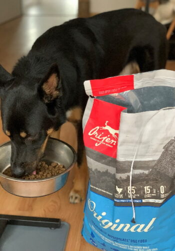Rüde Jack frisst das Trockenfutter.