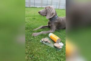 Weimaraner Neila und die HundeRolle mit dem gelben Etikett