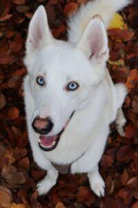 Der Weiße-Schäferhund-Husky-Mix Lupin sitzt auf braunem Herbstlaub und schaut nach oben in die Kamera.