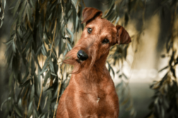 Ein Irish Terrier schaut mit schräggelegtem Kopf aufmerksam den/die Betrachter:in an.