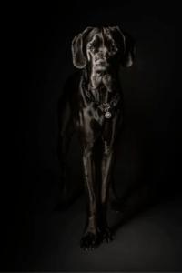 Schwarze Dogge vor schwarzem Hintergrund. Der Kopf ist angeleuchtet. Eine runde Marke am Halsband zeigt einen weißen Pfotenabdruck.