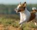 Ein Jack Russell Terrier rennt auf einer Wiese.