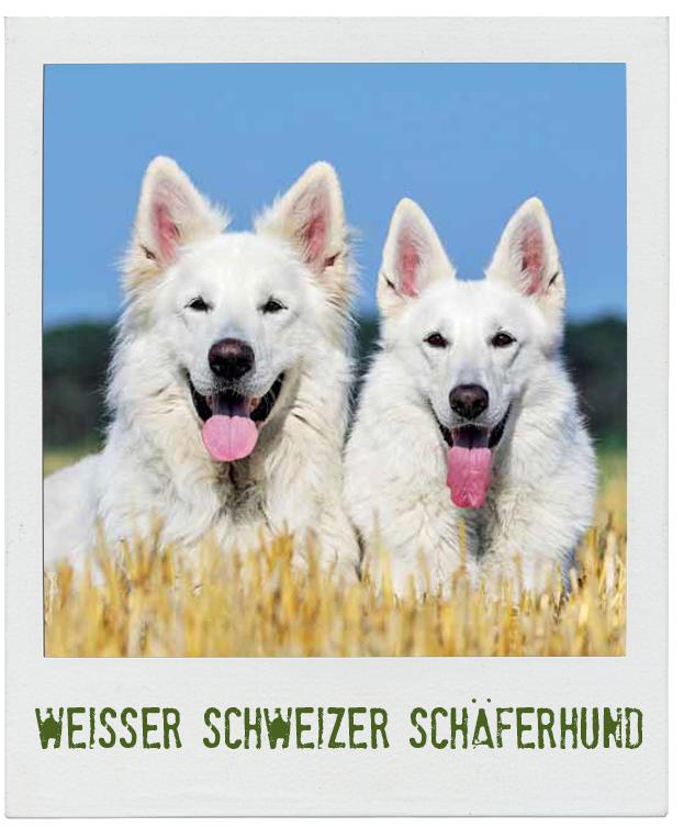 Weisser Schweizer Schaferhund Der Hund